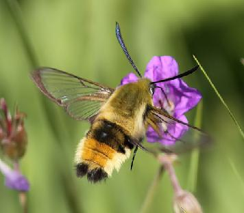 Narrow Bordered Bee Hawk